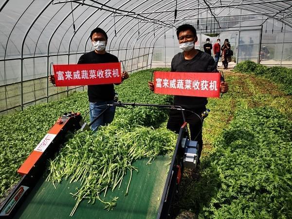 富来威叶菜收获机在苏沪多地受欢迎