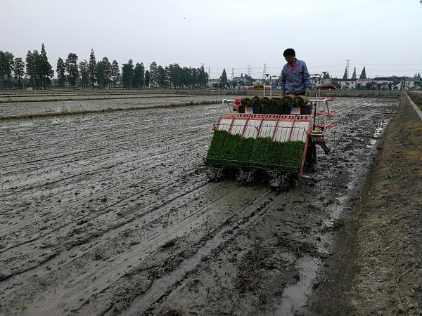 上海市水稻密播稀植在青浦开插